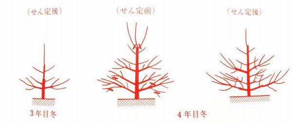桜桃の剪定の仕方